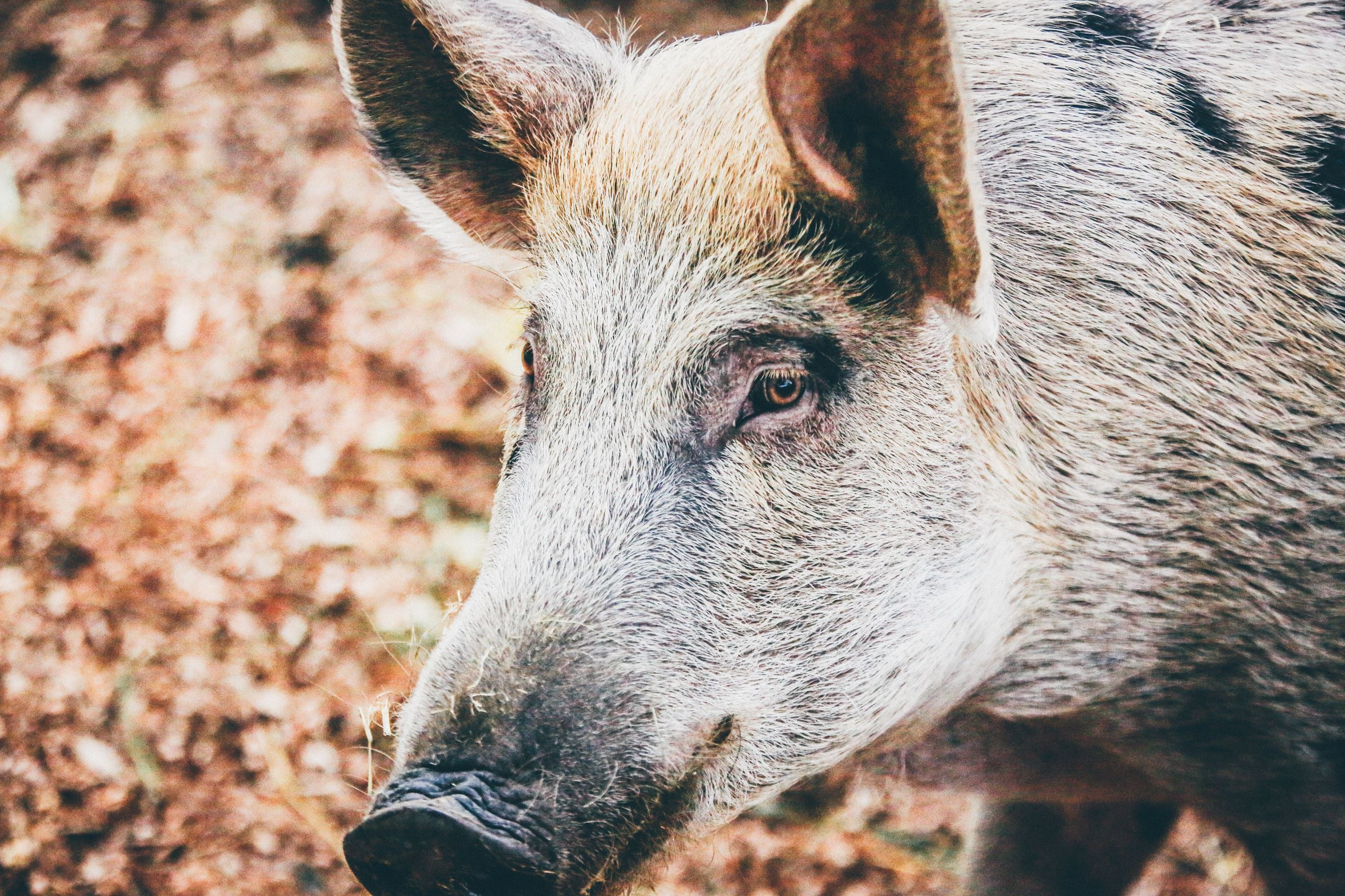 Feral Hog - Stock Photo