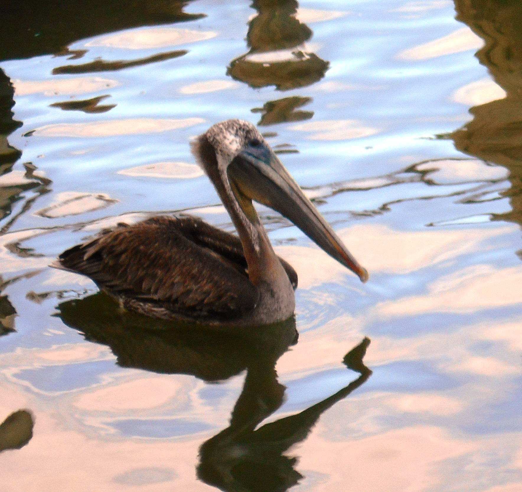 Brown pelican1.jpg